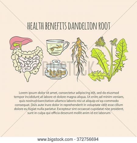 Dandelion Health Benefits Color Pharmacy Medical Benefits Plant Botanic Nature Flower Vector Illustr