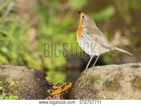A Robin Drinking Water In A Fountain In The Monfrague National Park.