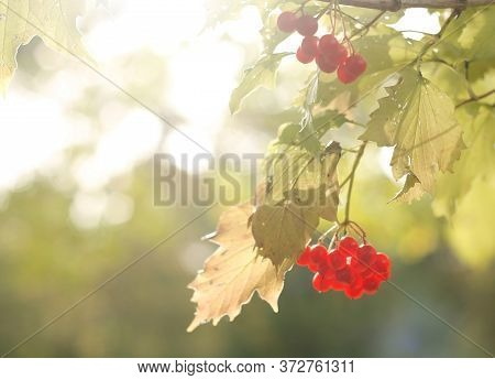 Light Background With Red Berries Of Viburnum. Autumn Concept. Good Design For Your Flyer, Invitatio