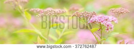 Beautiful Branch Of Flowering Spirea With Delicate Wonderful Flowers And Buds