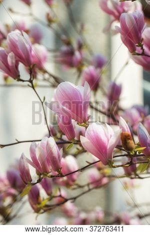 Beautiful Pink Magnolia Soulangeana Flowers On A Tree. Magnolia Scented Blooms With Tulip-like Flowe