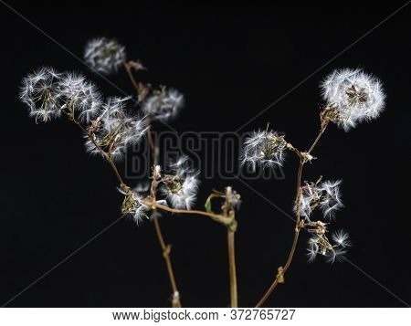 Many Twigs With Fluffs And Half Blooming Flowers Located On Dark Background