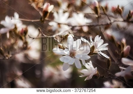 Beautiful White Loebneri Magnolia Flowers On A Tree. In The Spring Garden, Magnolia Blooms With The