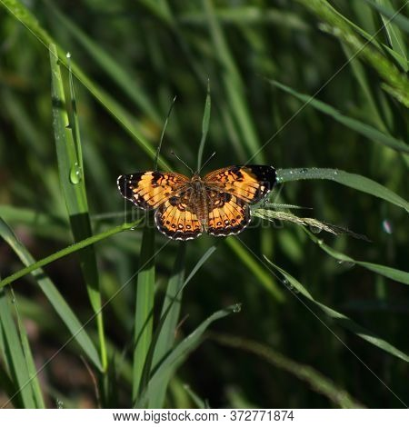 American Lady (vanessa Virginiensis) Butterfly Resting On A Blade Of Grass With Rain Drops