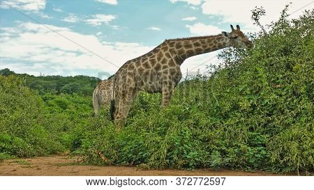 Giraffes Close-up. Graceful Animals Graze In Green Bushes. A Long Neck, A Head With Horns, A Spotted