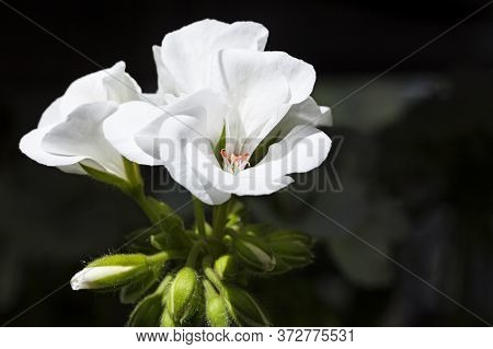 Several Beautiful White Flowers In A Bunch