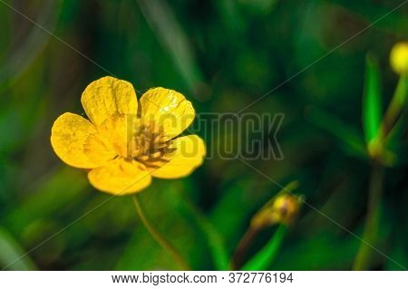 A Single Yellow Buttercup Flower On A Green Meadow On A Summer Day