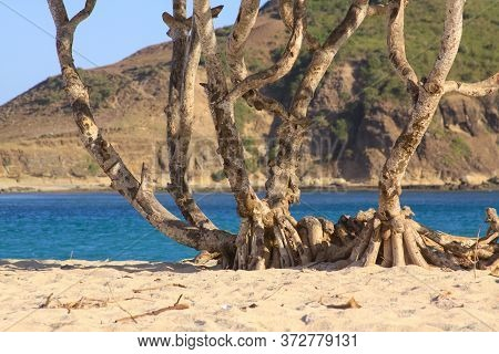 Scenic Palm Trunk And Roots On Kuta Beach, Lombok. Kuta Lombok Is An Exotic Paradise On The Indonesi