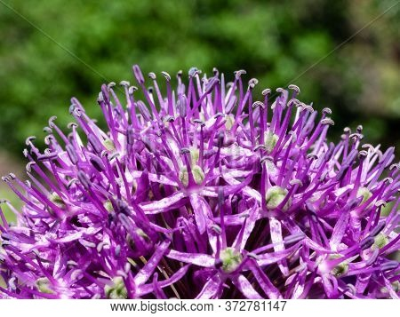 Blooming Lilac Leek Flower Close-up On A Blurry Background. A Beautiful Bright Flower Of The Leek. A
