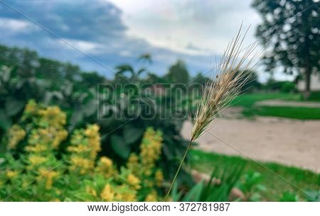One Dry Golden Spikelet On A Blurry Background. Summer Plants. Free Space For Text. Harvest.