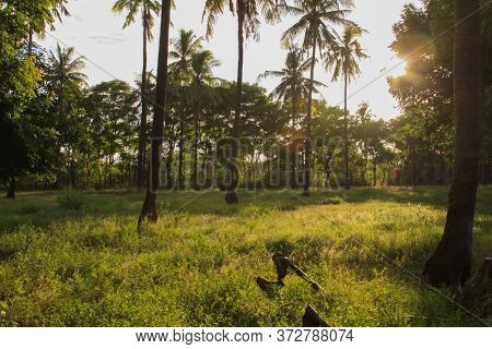 Palm Trees On Green Field With Warm Afternoon Sun Rays, On Gili Air Island, Lombok, Indonesia