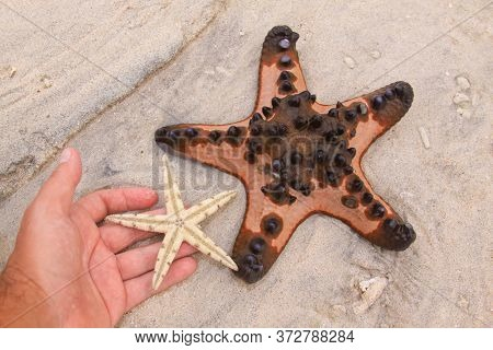 Comparing Two Sea Stars Species On Tropical Sandy Beach. Hand Holding White Starfish On Sand Backgro