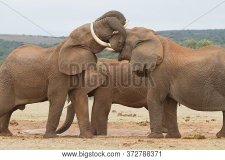 Two Male Elephant Sparring At A Water-hole