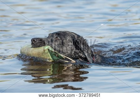 Close Up Of A Pedigree Black Labrador Retrieving A Dummy From The Water