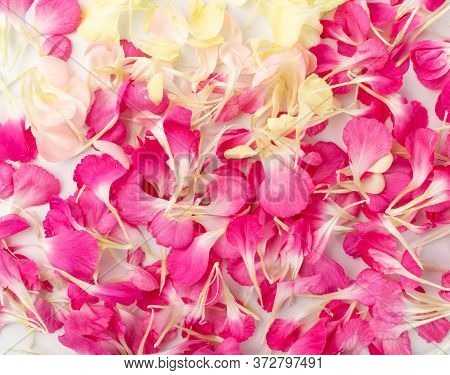 Pink Carnation Petals Texture, Dianthus Or Schabaud Background