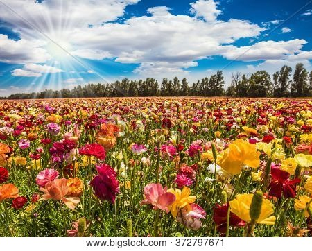 Israel. Magnificent flower carpet of multicolor garden buttercups - ranunculus. Hot sun and white clouds on a fine spring day. The concept of botanical, environmental and photo tourism