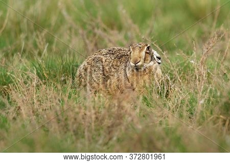 Brown Hare - Lepus Europaeus, European Hare, Species Of Hare Native To Europe And Parts Of Asia. It