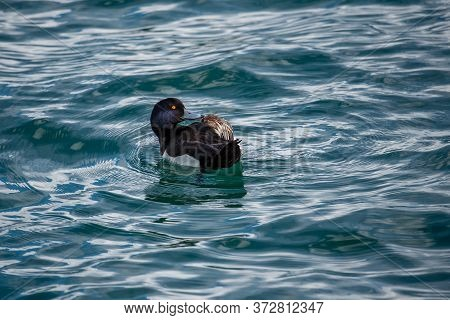 One Male Tufted Duck Aythya Fuligula In Water.