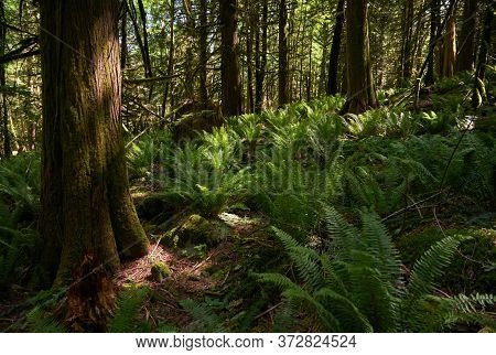Pacific Northwest Forest Sunshine. A Lush, Temperate Rainforest Floor Of The Pacific Northwest.