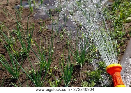 Young Onions Grow In The Garden In The Spring. Fresh Onion Greens In The Garden. Streams Of Water Fr