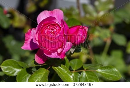 The Photo Shows A Rose Bush In The Sun