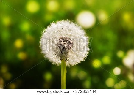 Nature Floral Background. White Fluffy Dandelion Close-up. Field Of White Dandelions. Blow On A Dand