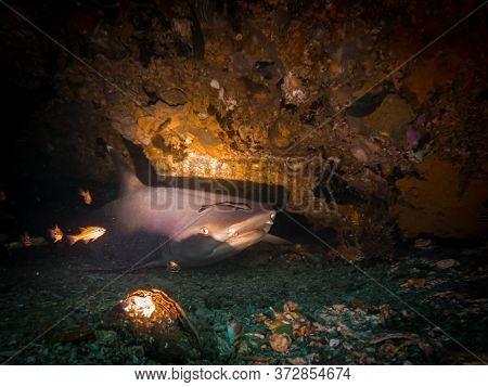 A Whitetip Reef Shark (triaenodon Obesus) In An Underwater Cave At Gato Island, Malapscua, Philippin