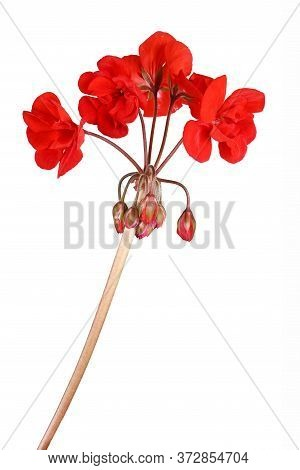 Red Garden Geranium Flowers Isolated On White Background. High Resolution Photo. Full Depth Of Field