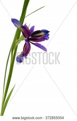 Purple Flower Of Iris Graminea Isolated On White Background. High Resolution Photo. Full Depth Of Fi