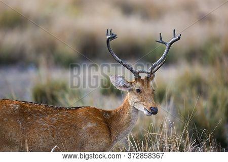 Male Barasingha Or Rucervus Duvaucelii Or Swamp Deer Portrait Of Elusive And Vulnerable Animal At Ka