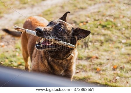 Belgian Shepherd Malinois Breed. Senior Dog At Walk. Life Of Pets. Concept Of Relationship Animals A