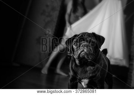 Pug Looks Into The Frame. Pug In The Foreground Bride On The Background