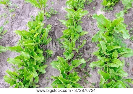 Fresh Green Beet Leaves Or Beet Roots. Grows In An Organic Farm. Growing Organic Vegetables
