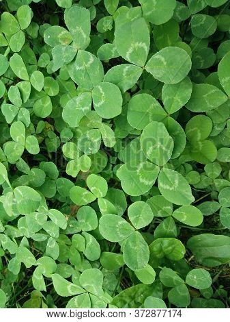 A Closeup Pic Of A Group Of Green Clovers In A Garden In Springtime
