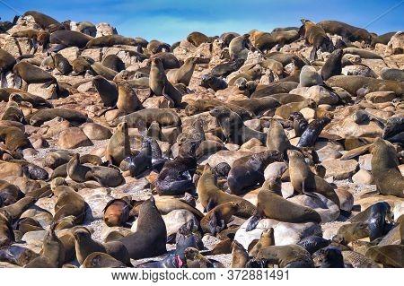Cape Fur Seals, Arctocephalus Pusillus, Shark Alley, Geyser Rock, Dyer Island, Gansbaai, Western Cap