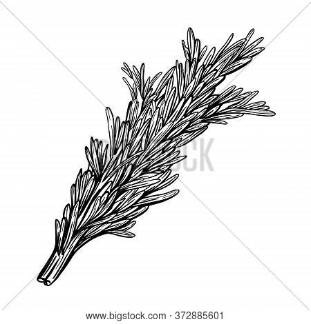 A Sprig Of Rosemary Isolated On A White Background. Herbes De Provence. Flavorful Seasonings And . H