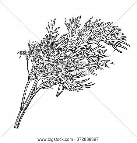 A Sprig Of Dill Isolated On A White Background. Herbes De Provence.fennel. Flavorful Seasonings And