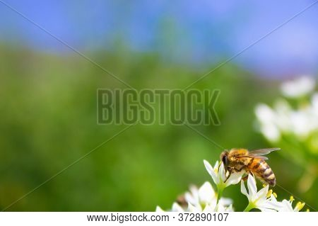 Honey Bee Apis Mellifera On White Flower While Collecting Pollen On Green Blurred Background Close U