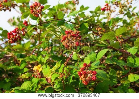 Wild blackberry bush with red berries on it