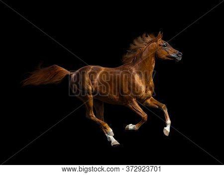 Chestnut Arabian Stallion Isolated Over A Black Background. Orange Colour Stallion Running Fast, Iso