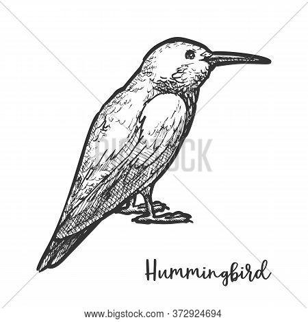Sketch Of Hummingbird Or Hand Drawn Colibri Bird