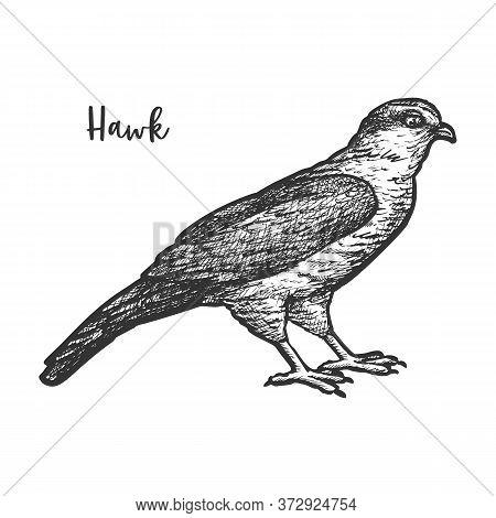 Hawk Bird Sketch Or Hand Drawn Falcon