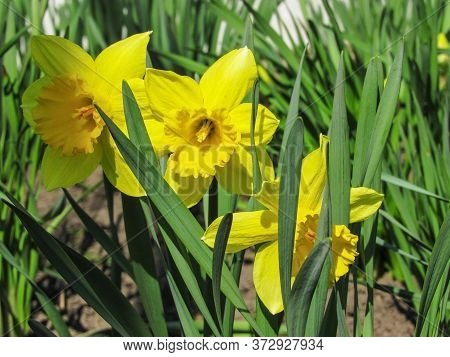 Daffodils In The Garden. Daffodils Macro Photo. Closeup Photo Of Daffodils. Yellow Daffodils
