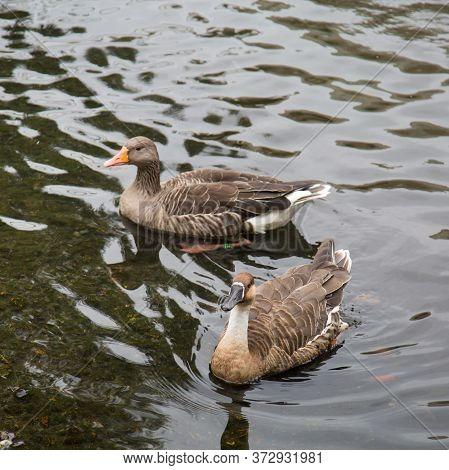 Geese In The Pond Swim, Anser Anser, Anser Cygnoides. Nature, Ornithology, Ecology.