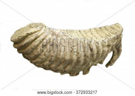 Elephant Molar Tooth Isolated On White Background. Body Parts Of Animals, Zoology.