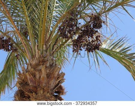 Date Palm. Date Fruits. Palm Tree On A Blue Background. Palm Tree Against Blue Sky Background.tropic