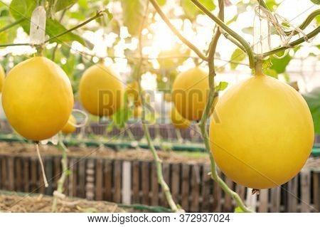 Fresh Organic Yellow Cantaloupe Melon Or Golden Melon Ready To Harvesting In Greenhouse At Melon Far