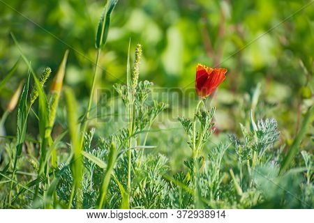 Lonely Amazing Red Californian Poppy On Blurred Greenery Background. Blurred Green Herb Is On The Fo