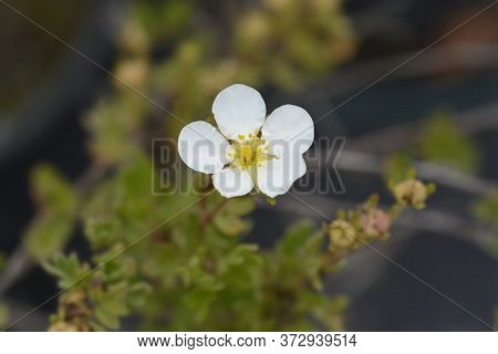 White Shrubby Cinquefoil Abbotswood - Latin Name - Potentilla Fruticosa Abbotswood
