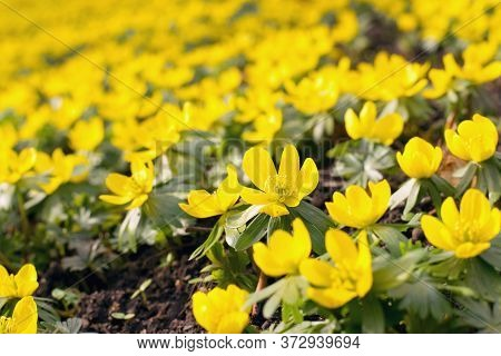 Spring Flowers In The Park, Winter Aconite Flowers (eranthis Hyemalis)